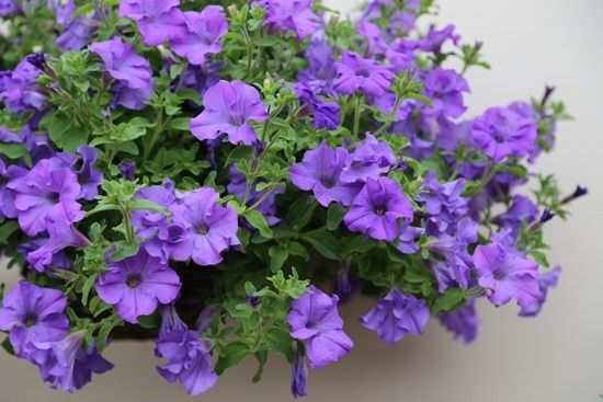7 Petunia Surfinia Heavenly Blue