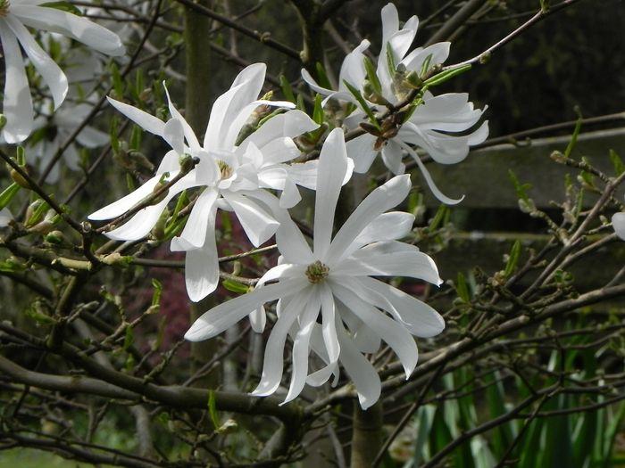 Magnolia stellta