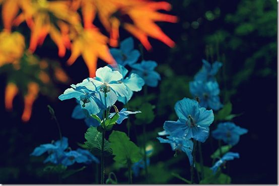 Meconopisis blue poppy
