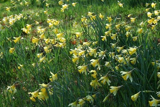 11 Narcissus lobularis