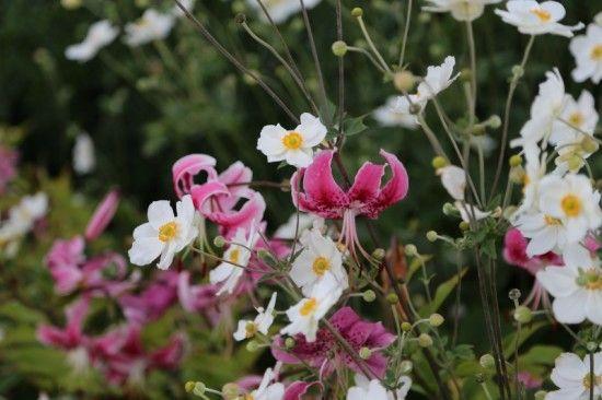 Anemone japonica and Lilium speciosum