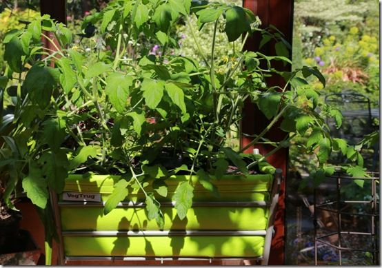 6 Tomato 'Tumbler' in Poppy Veg Trug