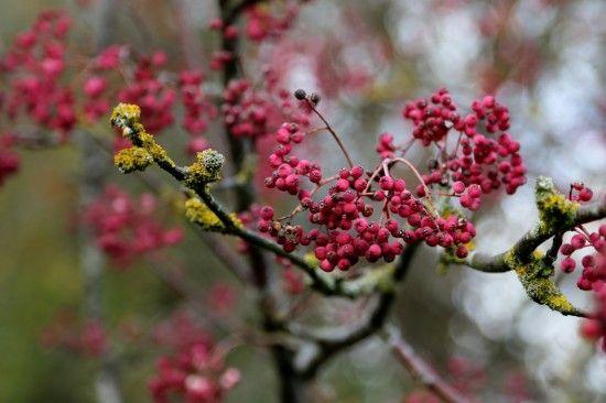 11 Sorbus hupehensis 'Pink Pagoda'