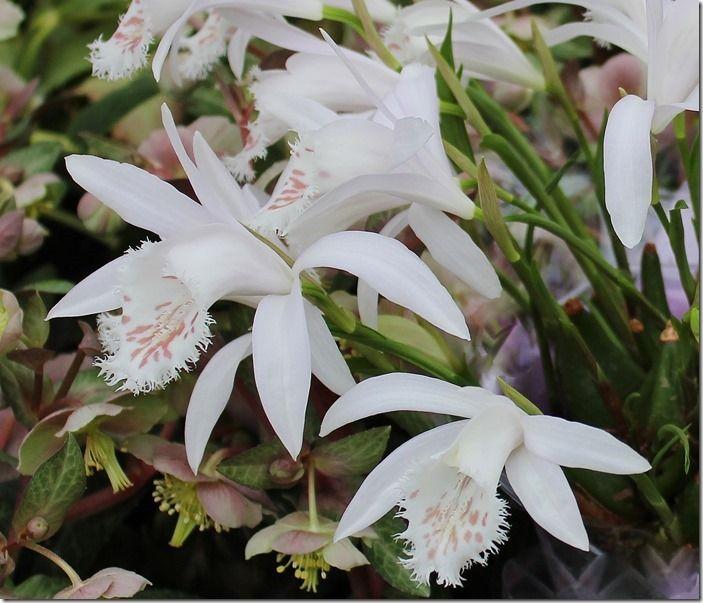 3 Pleione grandiflora White Form