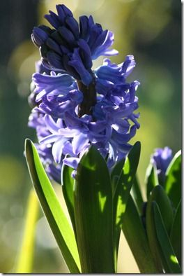 Blue hyacinth - close