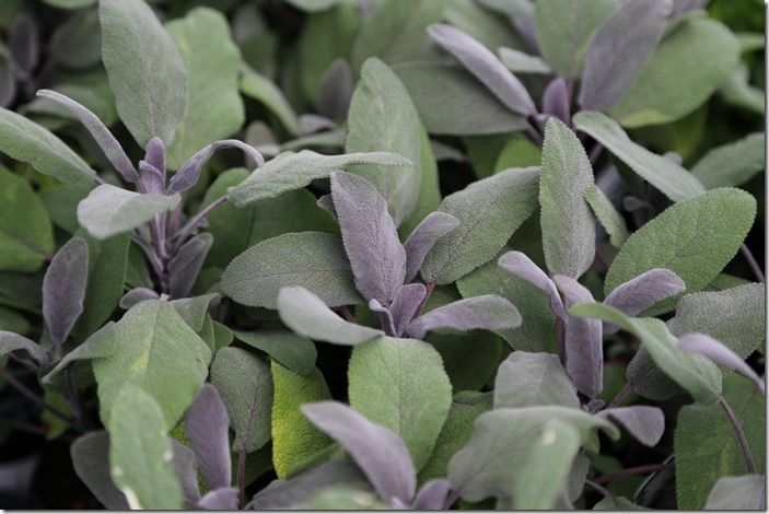 6 Salvia officinalis purpurascens