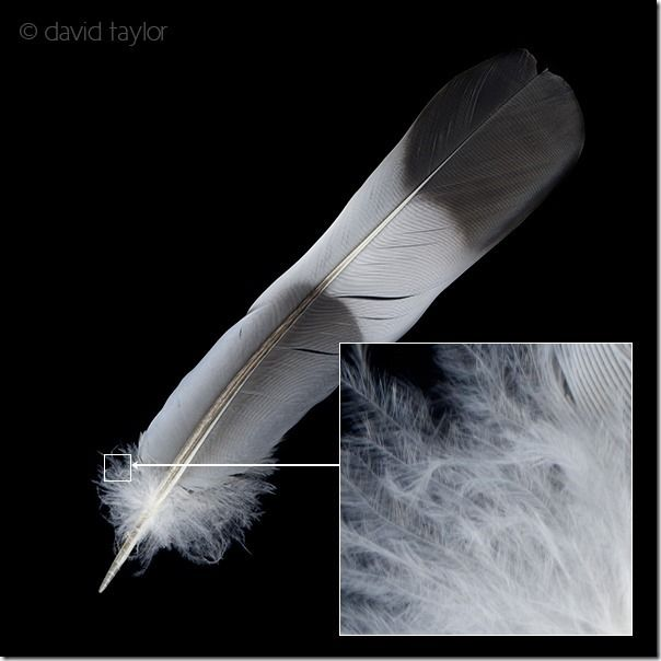 Scan of a pigeon feather, scanography , How to Use Your Flatbed Scanner as a Digital Camera, flatbed scanner, scanner, Photography, photographs, digital image, imaging, How to Use a Scanner To Make Images, photography using a scanner, photography using a flatbed scanner