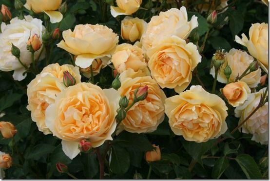 Rosa - apricot da