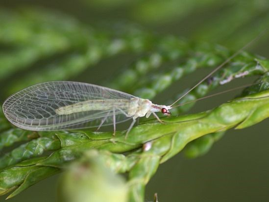 3 Green Lacewing