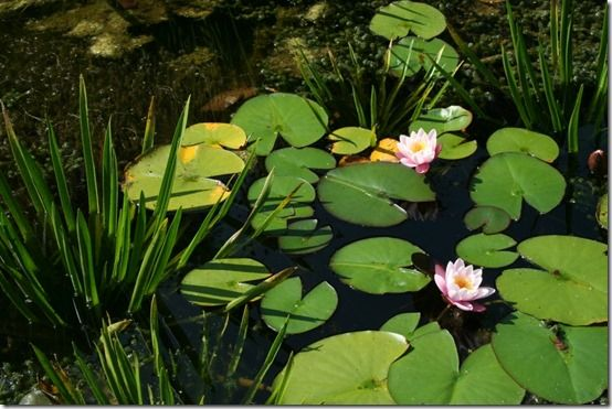 Water lilies and water soldiers