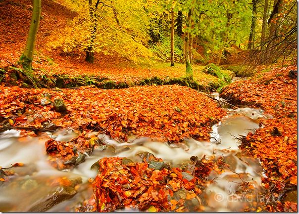 Autumn beech leaves around a stream near Bracklinn falls in the Trossachs region of the Scottish Highlands, Autumn, clour, Colour, Fall, How to Photograph Autumn Colour, How to Photograph Fall Color, Leaves, tree, trees, Woodlland