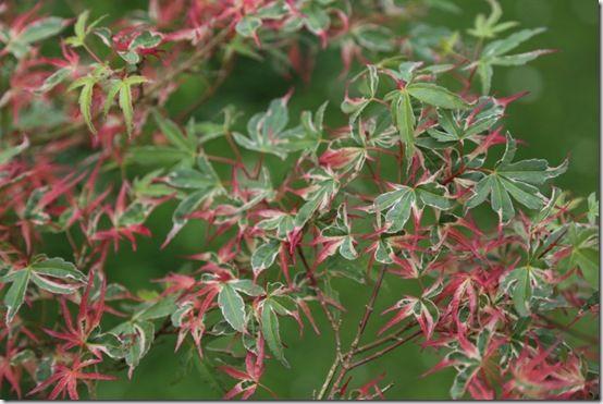 1 Acer palmatum 'Kagiri-Nishiki'