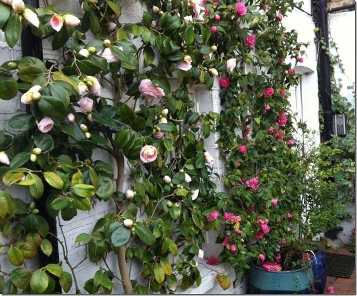 4 Camellia japonica