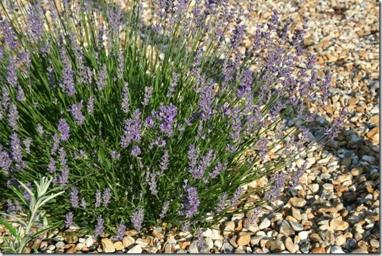 4 Lavender and gravel