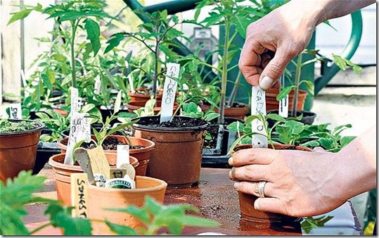 germination, Potting Off, Potting On, Pricking out, Re-Potting, Re-Potting House Plants, Re-Potting Plants, seedlings, Transplanting