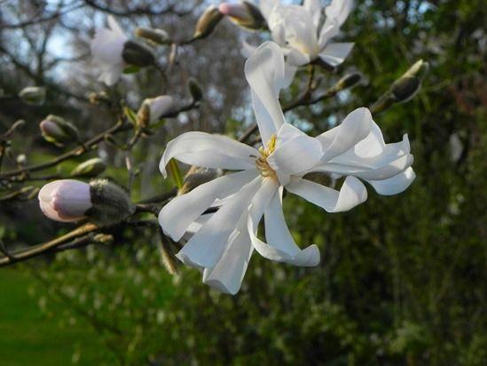 9 Magnolia stellata 'Waterlily'  (3) (1024x768)