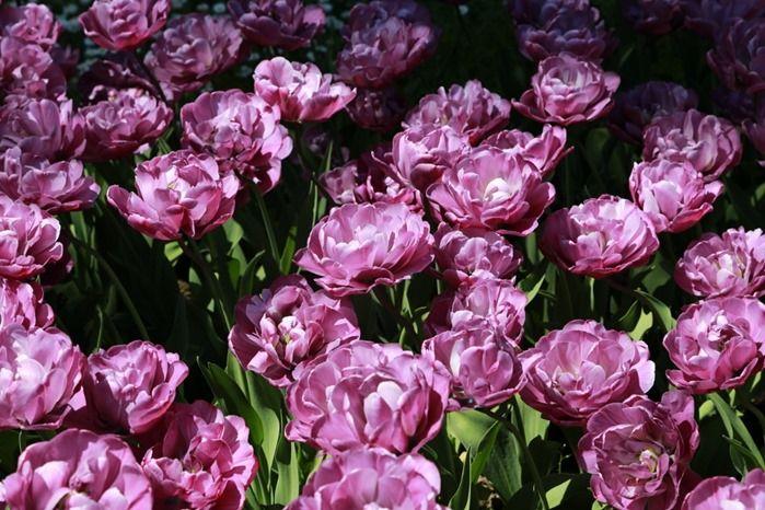 4 Tulipa 'Blue Diamond' (1024x683)