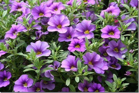 Callibrachoa 'Lavender'