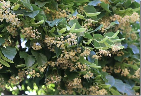 2 Scented lime flowers