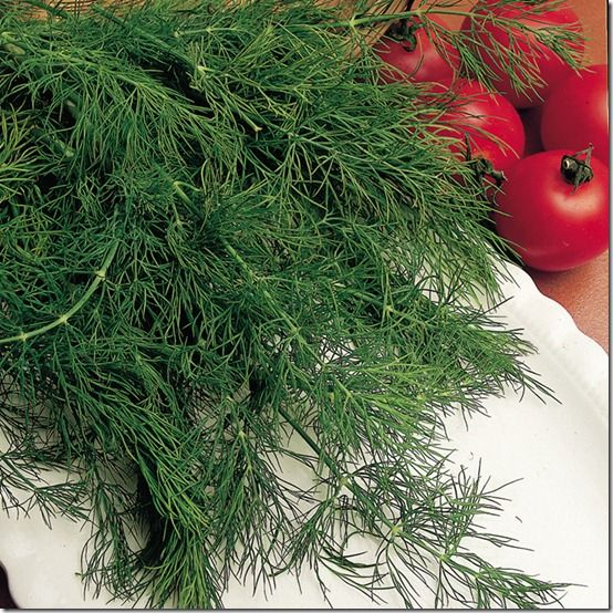 164707_Herbs_Dill_exp