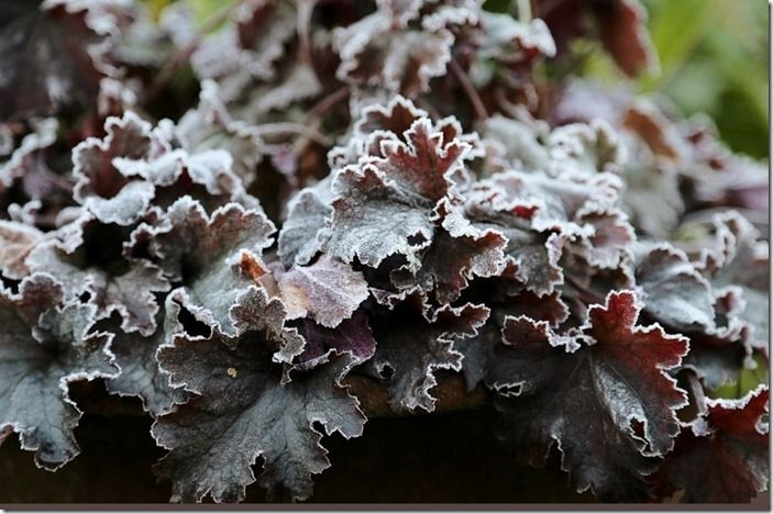 4 Heuchera in frost