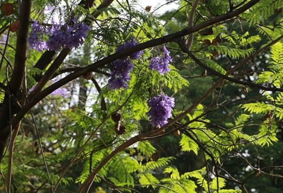 3 Jacaranda blooms and pods (1280x874)