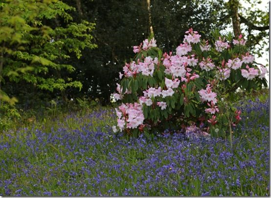 Rhododendron loderi with bluebells