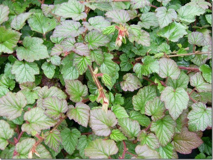 2 Rubus tricolor