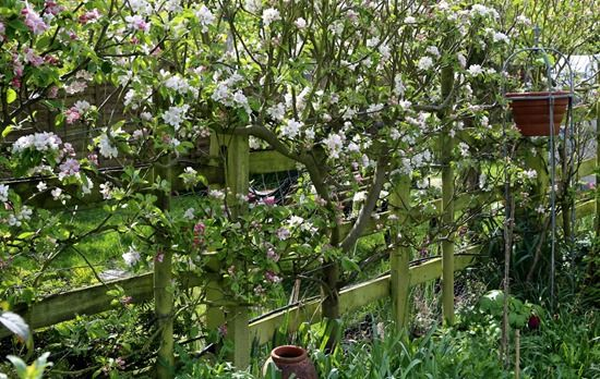 7 Fruiting hedge needs potash