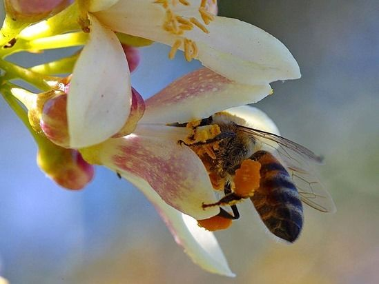 2 Bee pollinating lemon
