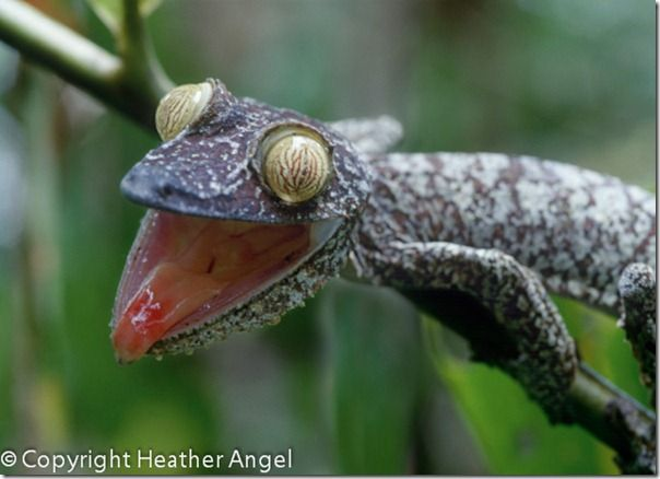 Leaf-tailed gecko threat posture
