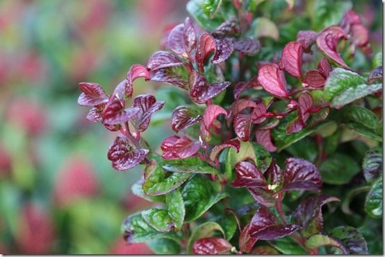 8 Leucothoe 'Curly Red' Shrubs For Winter Interest