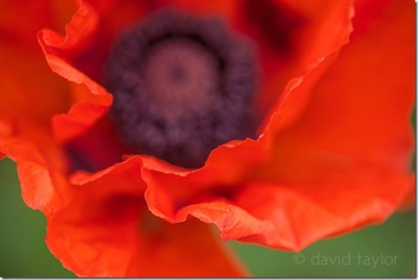Close-up of a poppy growing in a pasture field near Bamburgh, Northumberland, England, Autofocus, Phase detection, AF point selection, Contrast detection, AF-S, One Shot mode, AI Servo, AF-C, predictive focus, Live View