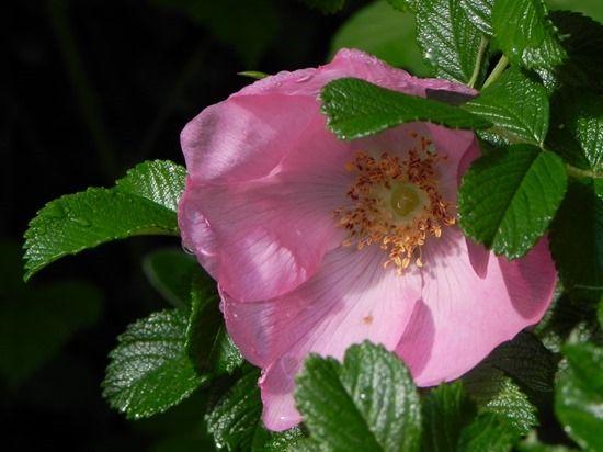 1 Rosa rugosa