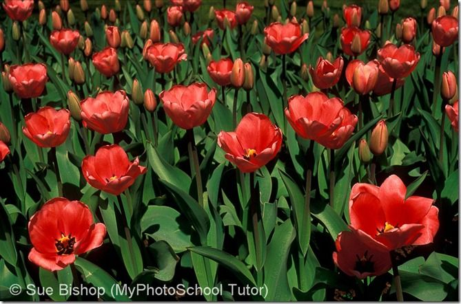 Another example of frontlighting is this shot of tulips. It shows all their blimishes and imperfections and makes them look tired