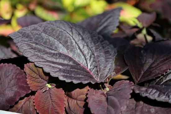 4 Coleus Dark Chocolate (800x533)