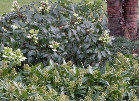 6 Helleborus argutifolius and Skimmia Kew Green