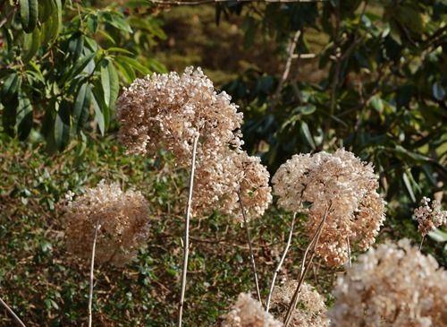 6 Hydrangea arborescens (1280x934)