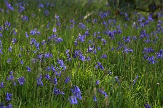 8 Hyacinthoides non-scripta