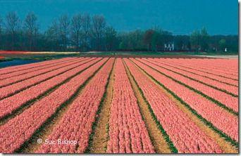 hyacinth field - telephoto