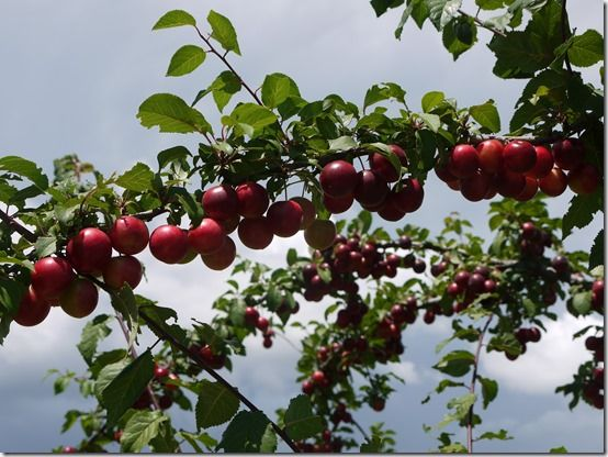 prune, Fruit Tree Specification & Rootstocks Guide