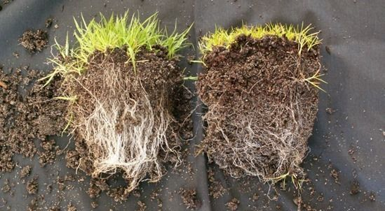 6 Grass on left with mycorrhizal fungi, on right without