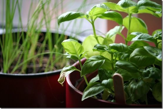 Windowsill basil