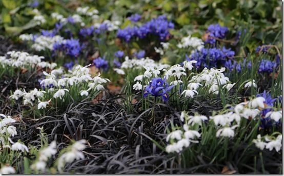 Iris, snowdrops and ophiopogon