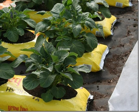 Potatoes on gro-bags