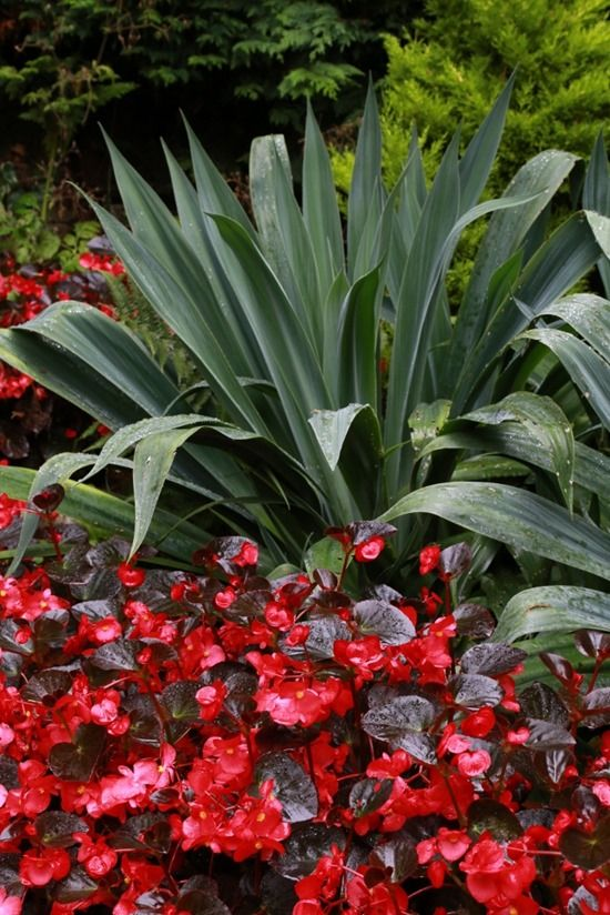 5 Begonia Whopper