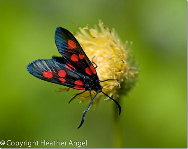 5 burnet moth feeding on a thistle in Dolomites