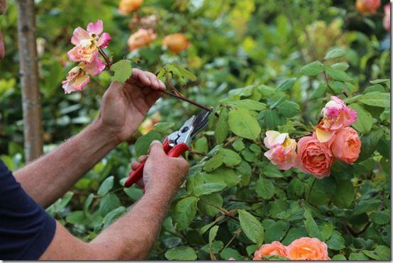 6 Deadheading roses