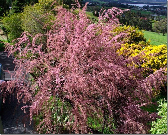 9 Tamarix ramosissima