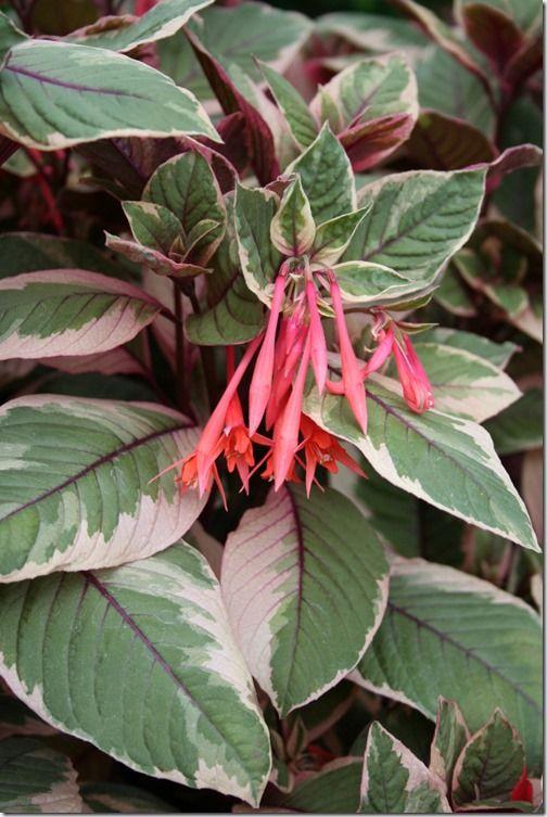 Fuchsia 'Firecracker'
